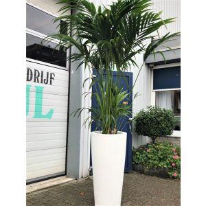 Kentia palm met witte pot (hoog)