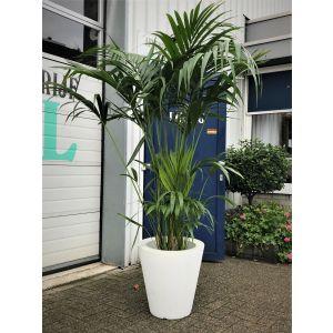 Kentia Palm met witte pot (laag)